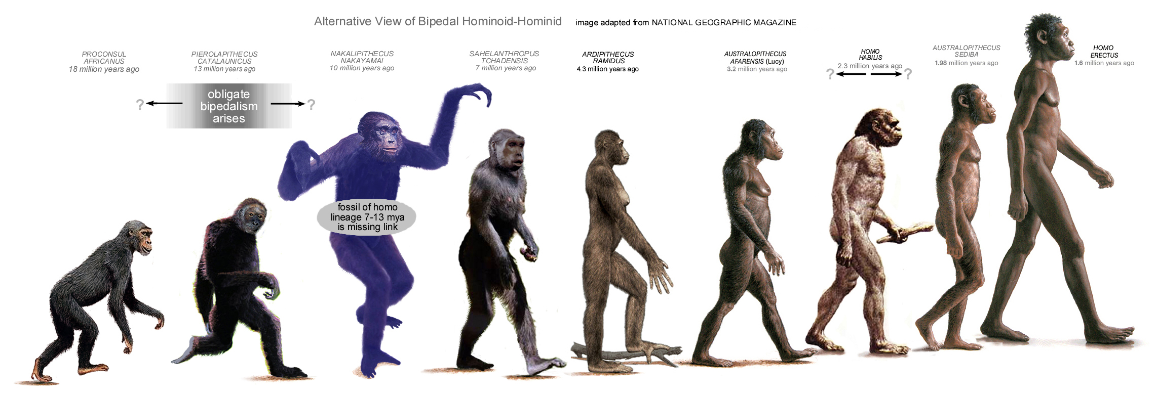 the evidence of bipedal locomotion in early hominids